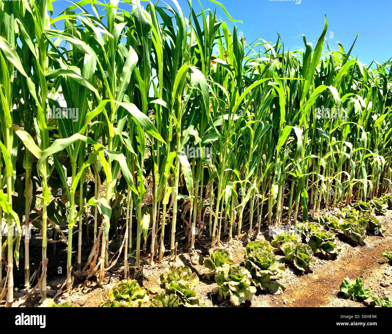 Corn and lettuce growing in a community garden Stock Photo