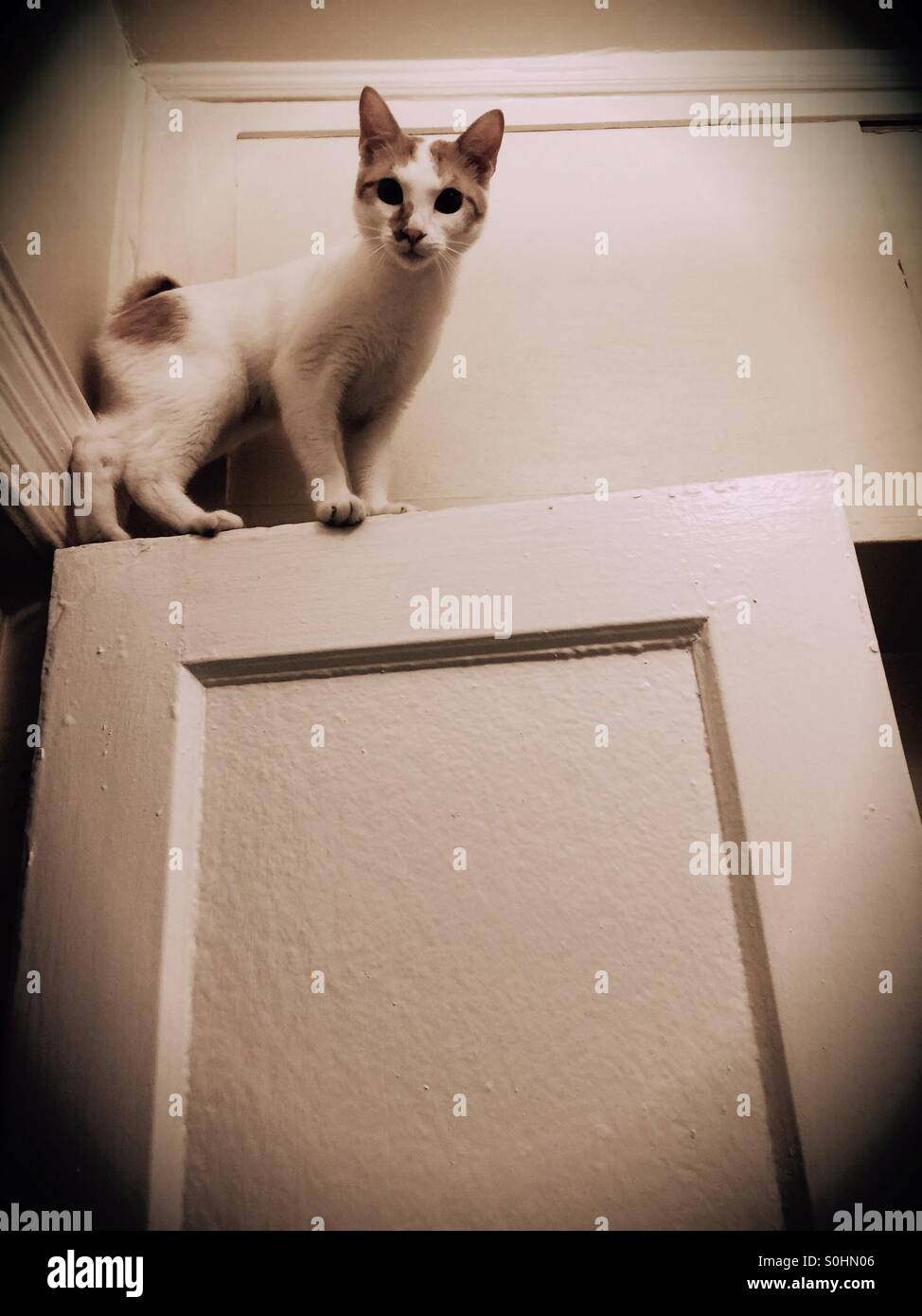 Japanese Bobtail kitten on top of a door Stock Royalty Free
