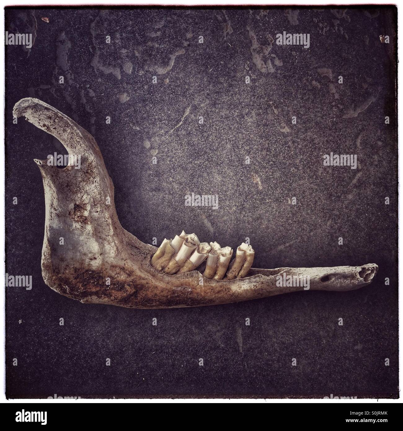 Animal jawbone stock photos animal jawbone stock images alamy jawbone and teeth of sheep stock image biocorpaavc Image collections