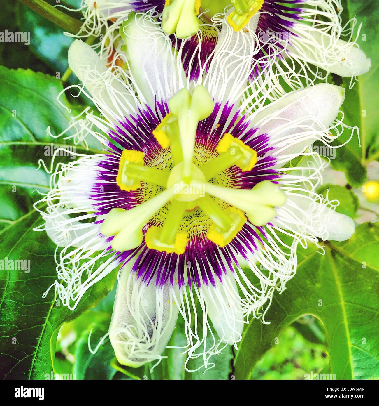 Passionfruit flower on the vine white purple yellow and green passionfruit flower on the vine white purple yellow and green dhlflorist Images