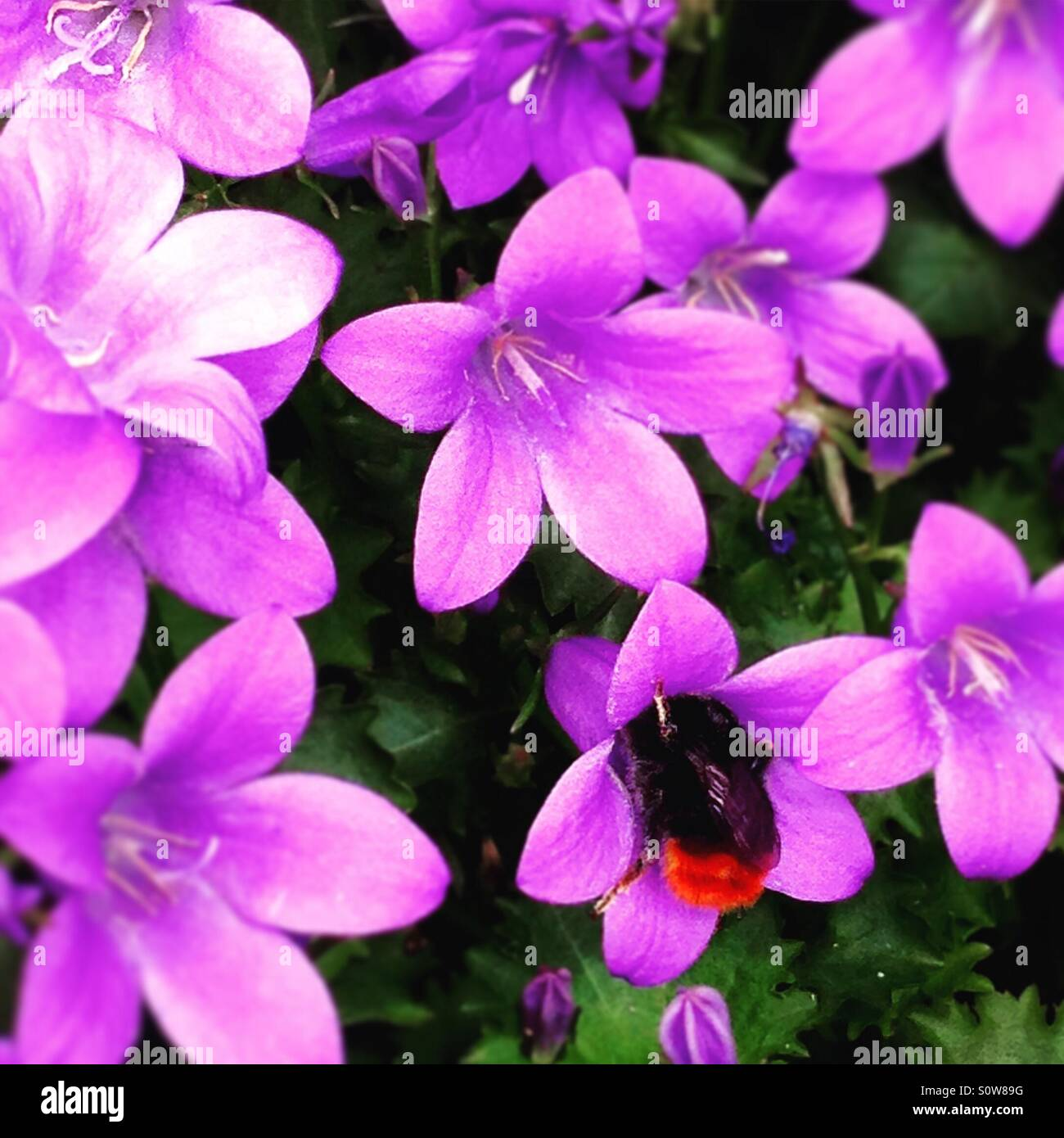 Bumble bee sucking nectar from a purple flower stock photo bumble bee sucking nectar from a purple flower biocorpaavc