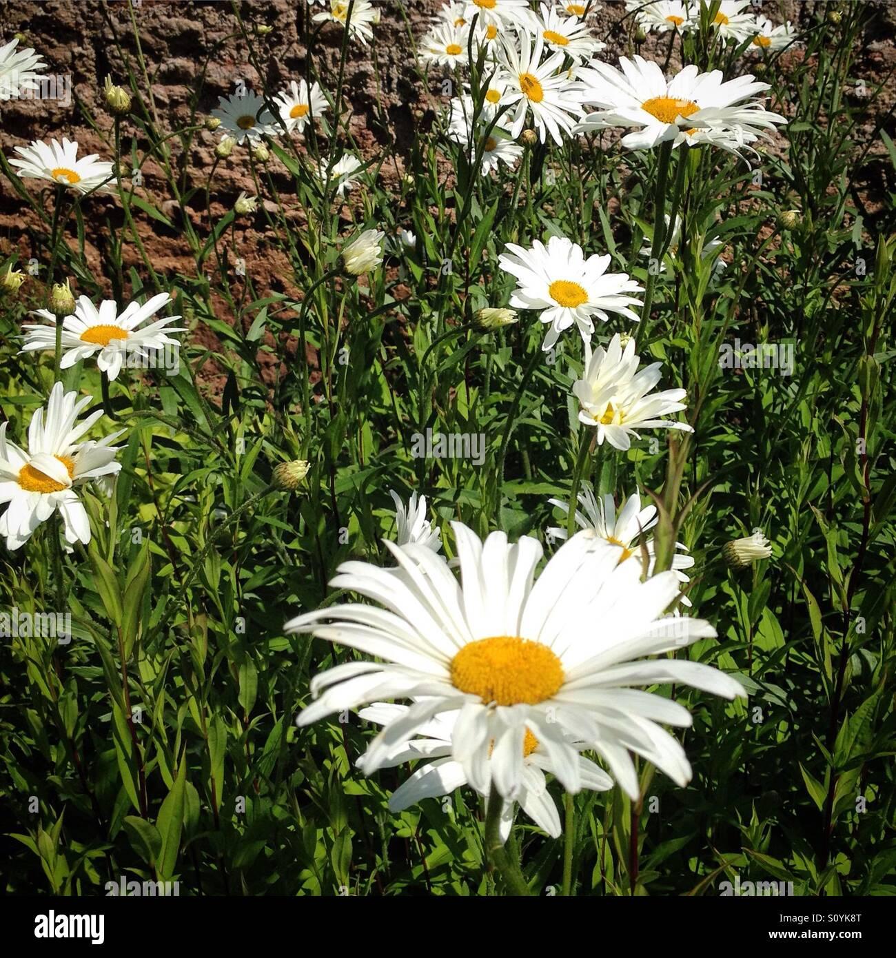 Large daisy type flowers in a summer garden stock photo royalty large daisy type flowers in a summer garden dhlflorist Images