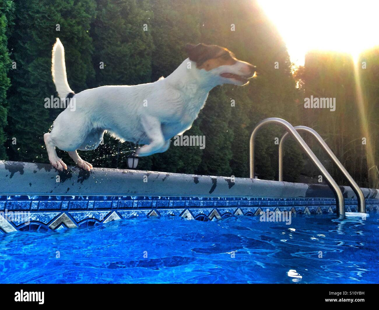 Swimming Pool Action : A fit dog jumping into swimming pool action shot
