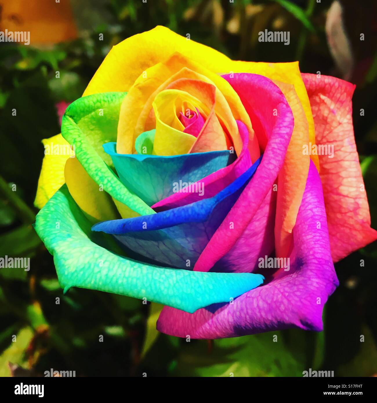 Beautiful multi coloured rose stock photo 310567204 alamy for Multi colored rose petals