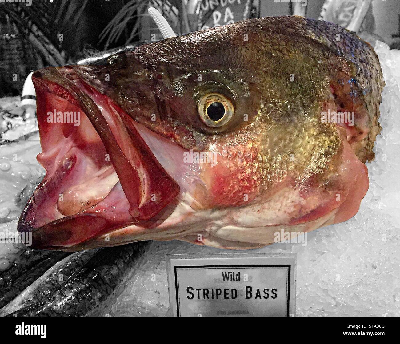Headshot of an open mouthed wild striped bass fish on ice for Bass fish for sale
