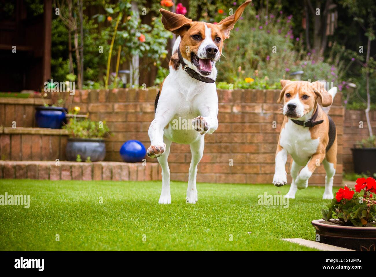 Beagle Running Pair of beagles runnin...