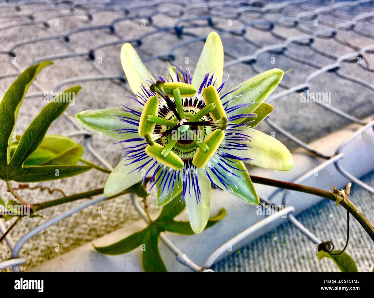 Purple and white passion flower growing on chain linked fence solitary purple and white passion flower growing on chain linked metal fence outside close up with dhlflorist Images
