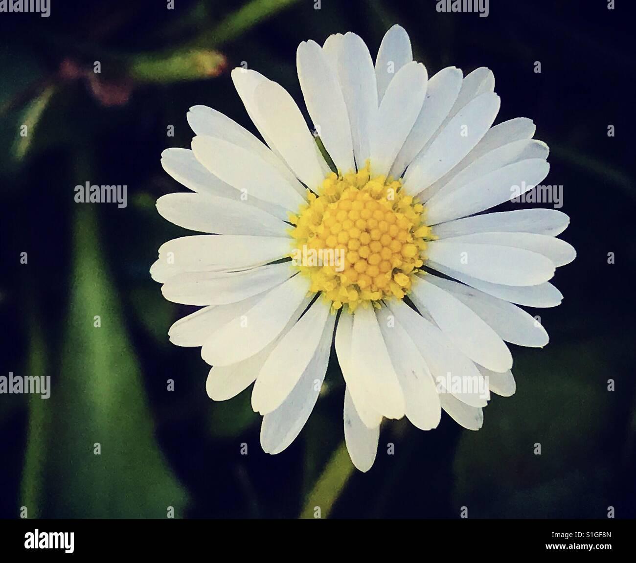 White flower with yellow center on dark background stock photo white flower with yellow center on dark background mightylinksfo Images