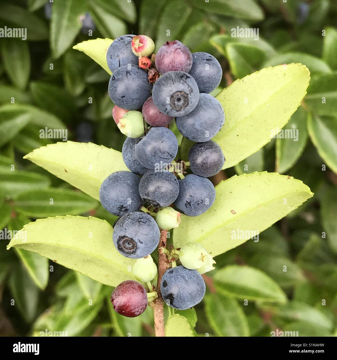 Blue Huckleberries