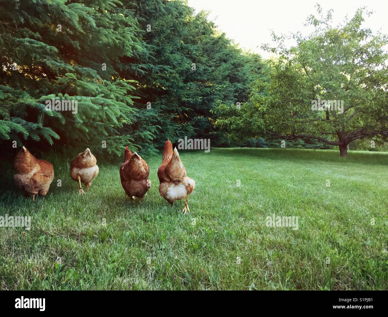 backyard free run chickens going for a walk and foraging in the