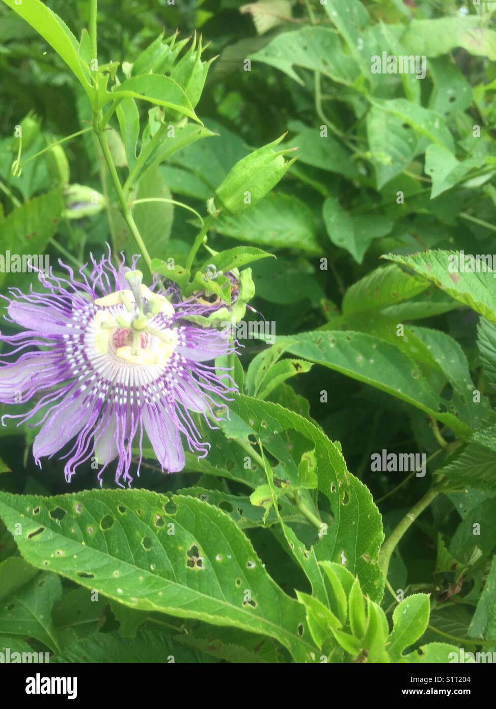 Passionflower purple passion flower growing wild stock photo passionflower purple passion flower growing wild mightylinksfo