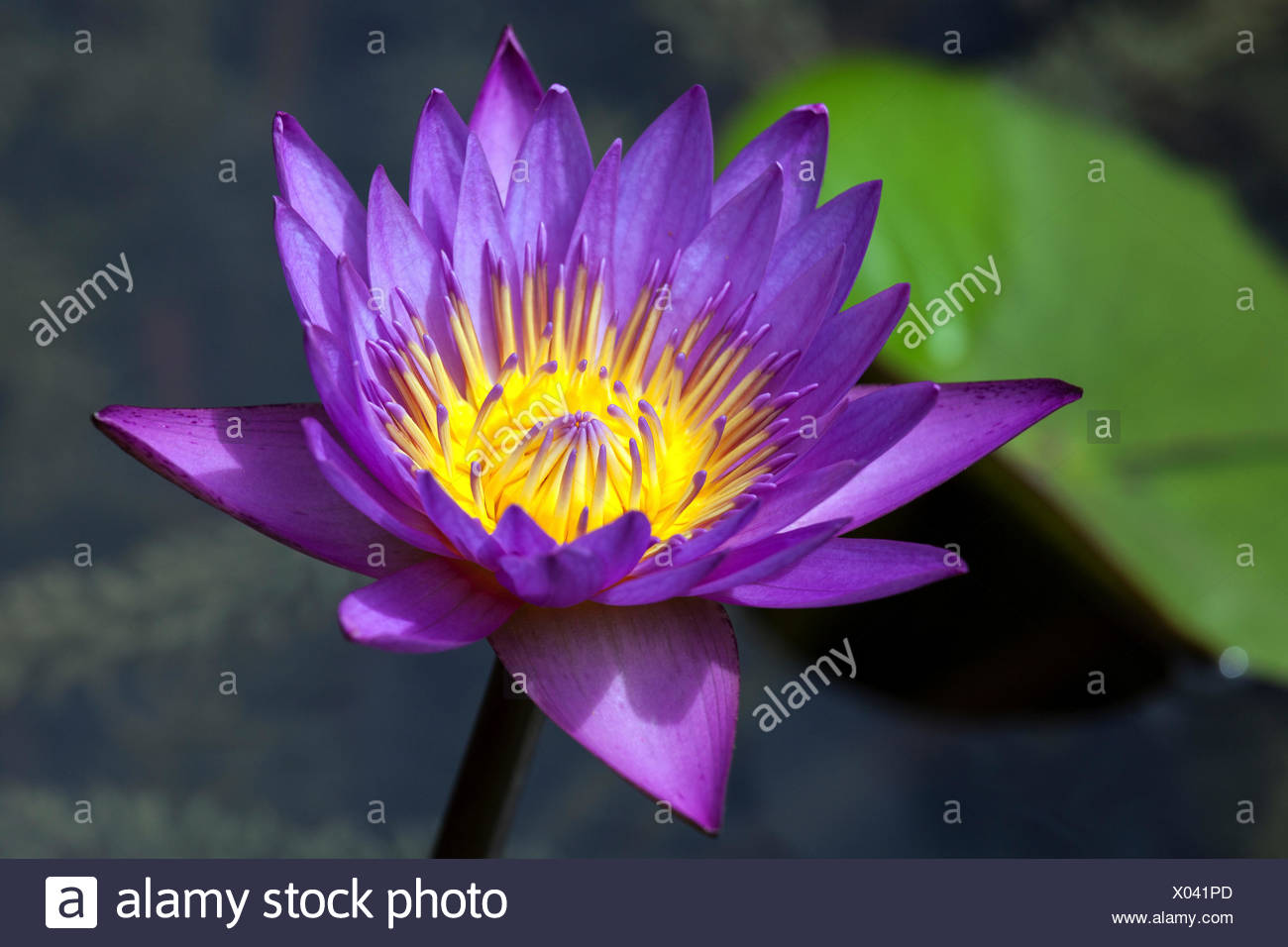 Blue lotus also blue water lily or sacred blue lily nymphaea blue lotus also blue water lily or sacred blue lily nymphaea caerulea flower sri lanka mightylinksfo