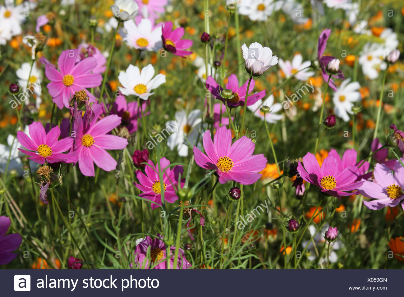 Pink and white cosmos flowers in a garden stock photo 275483173 alamy pink and white cosmos flowers in a garden mightylinksfo
