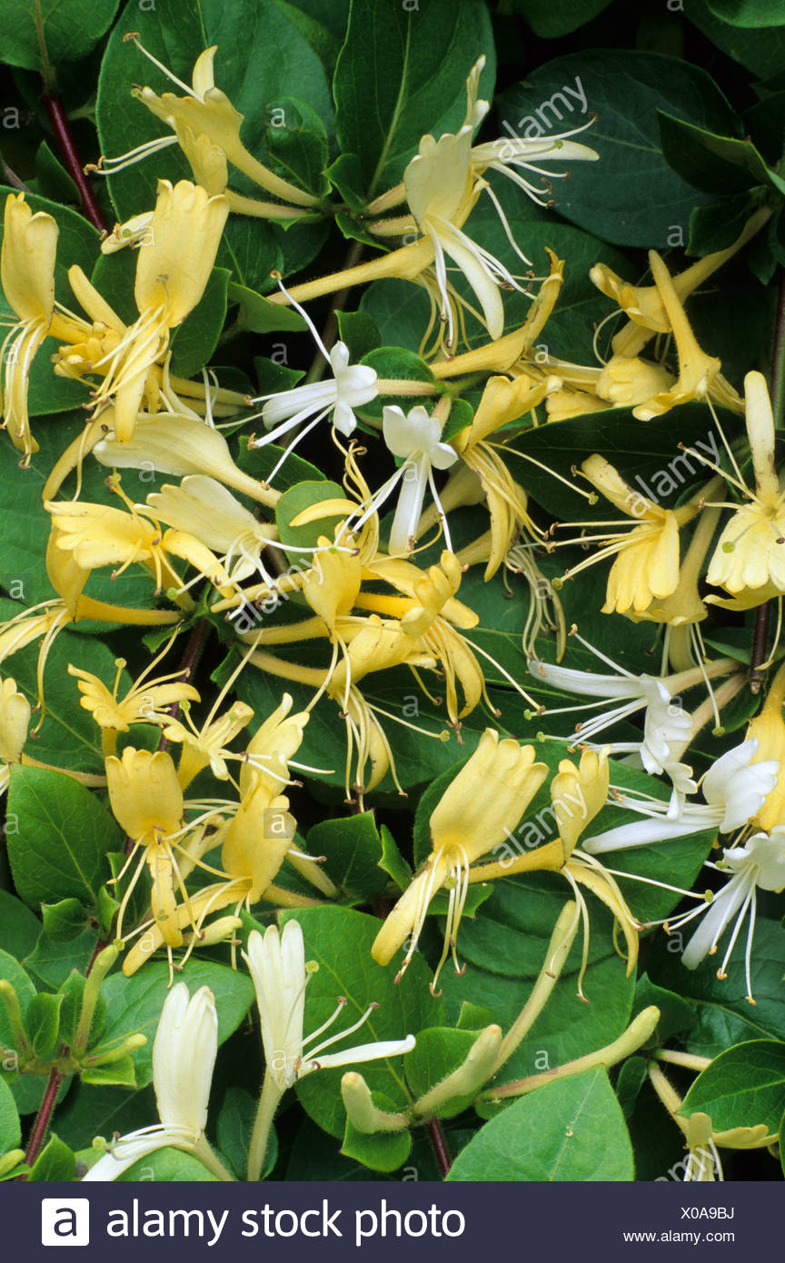 Lonicera Japonica Halliana Fragrant White Yellow Flowers