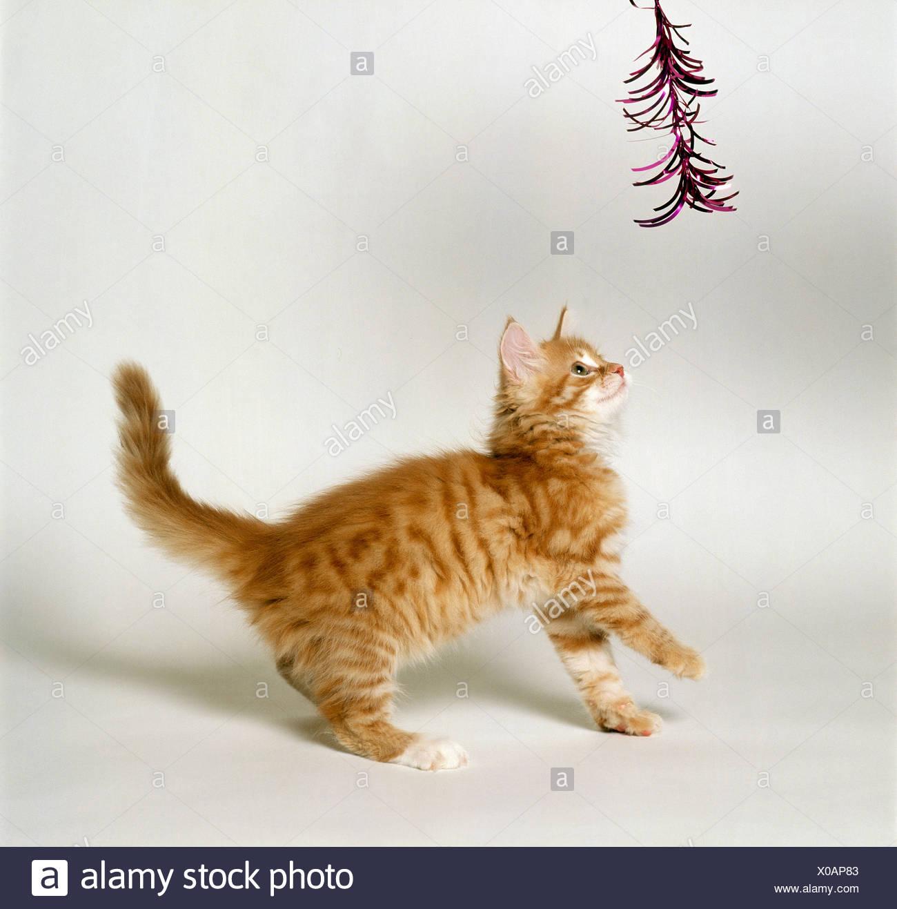 Angora Cat Kitten Playing Stock Photo 275602883 Alamy