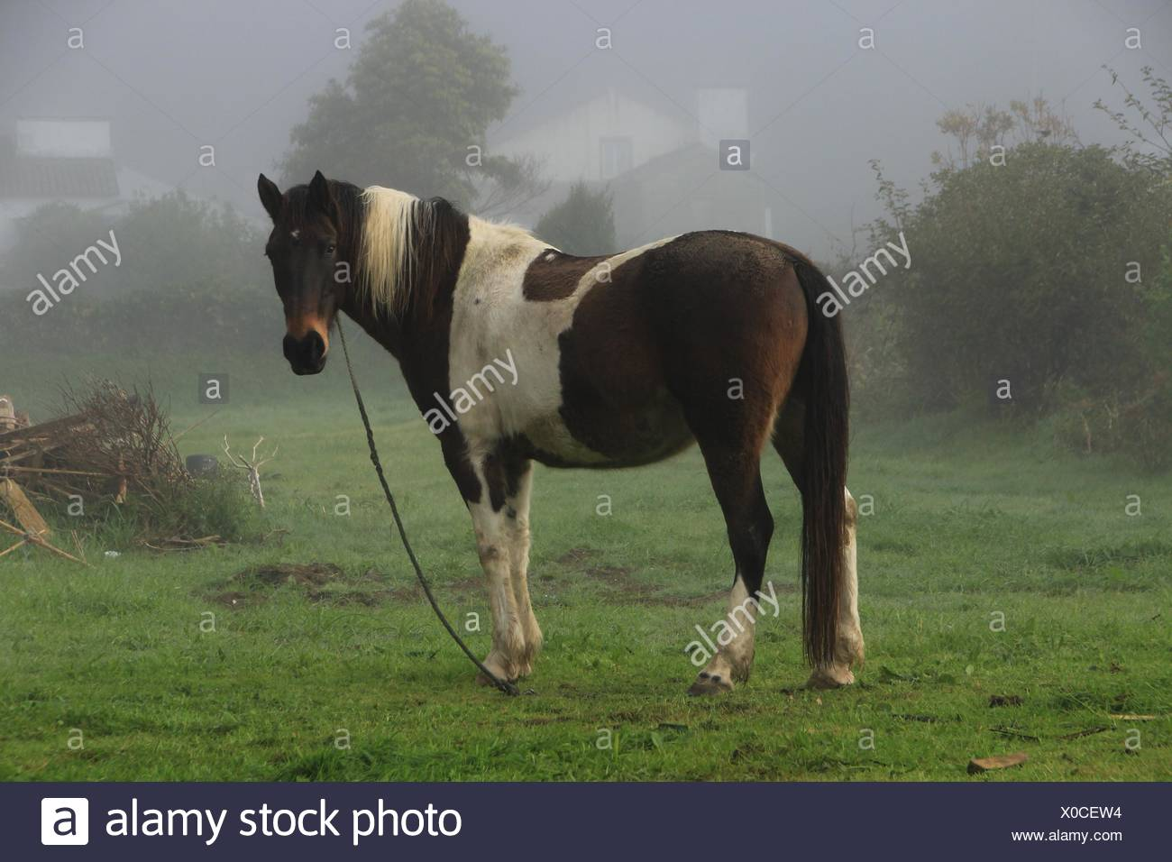 a horse in a misty morning in sete cidades sao miguel island
