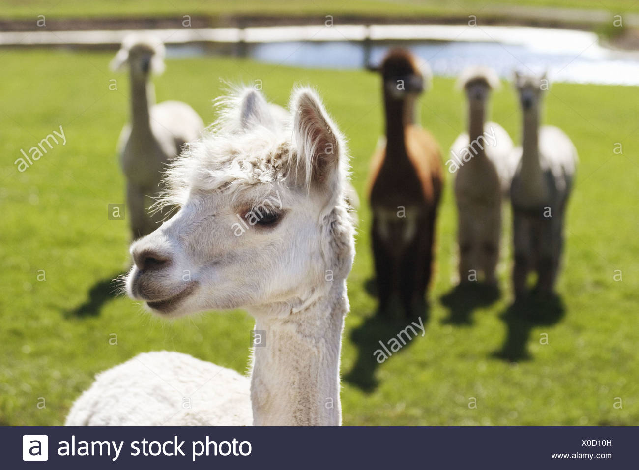 smiling alpaca lama pacos posing as if it were the leader of the
