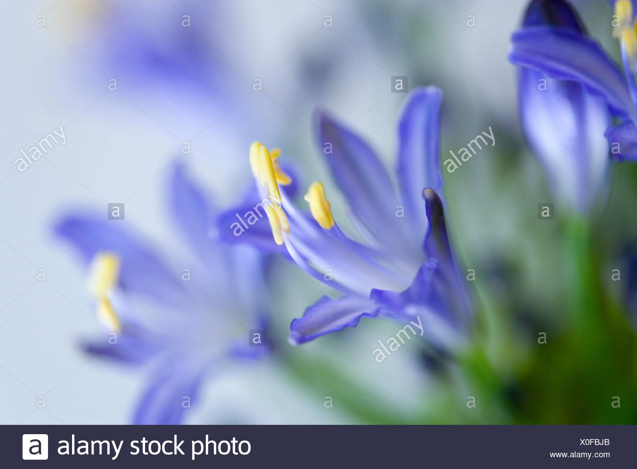 Agapanthus africanus close view of blue purple flowers with agapanthus africanus close view of blue purple flowers with prominent yellow stamen mightylinksfo