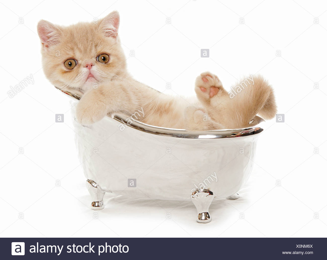 Exotic Shorthair cat - kitten in a small bath tub Stock Photo ...