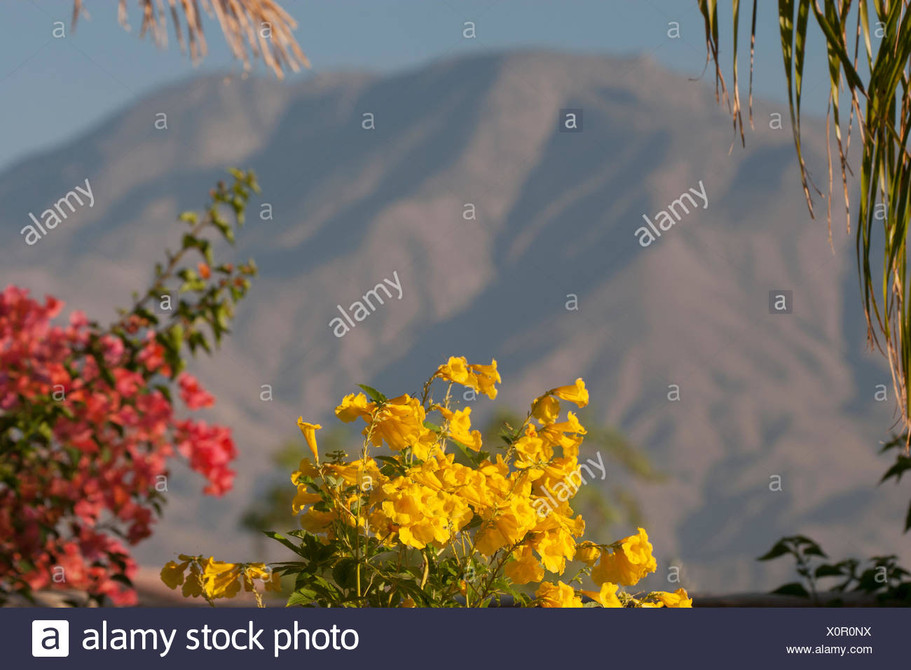 Close up of yellow and red flowers with large desert mountain in the close up of yellow and red flowers with large desert mountain in the distance and blue sky palm springs california usa izmirmasajfo