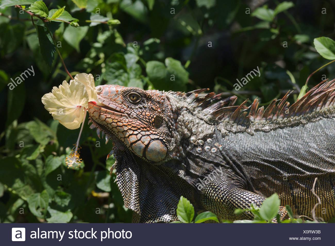 Green Iguana Iguana Iguana Eating A Hibiscus Flower Stock Photo