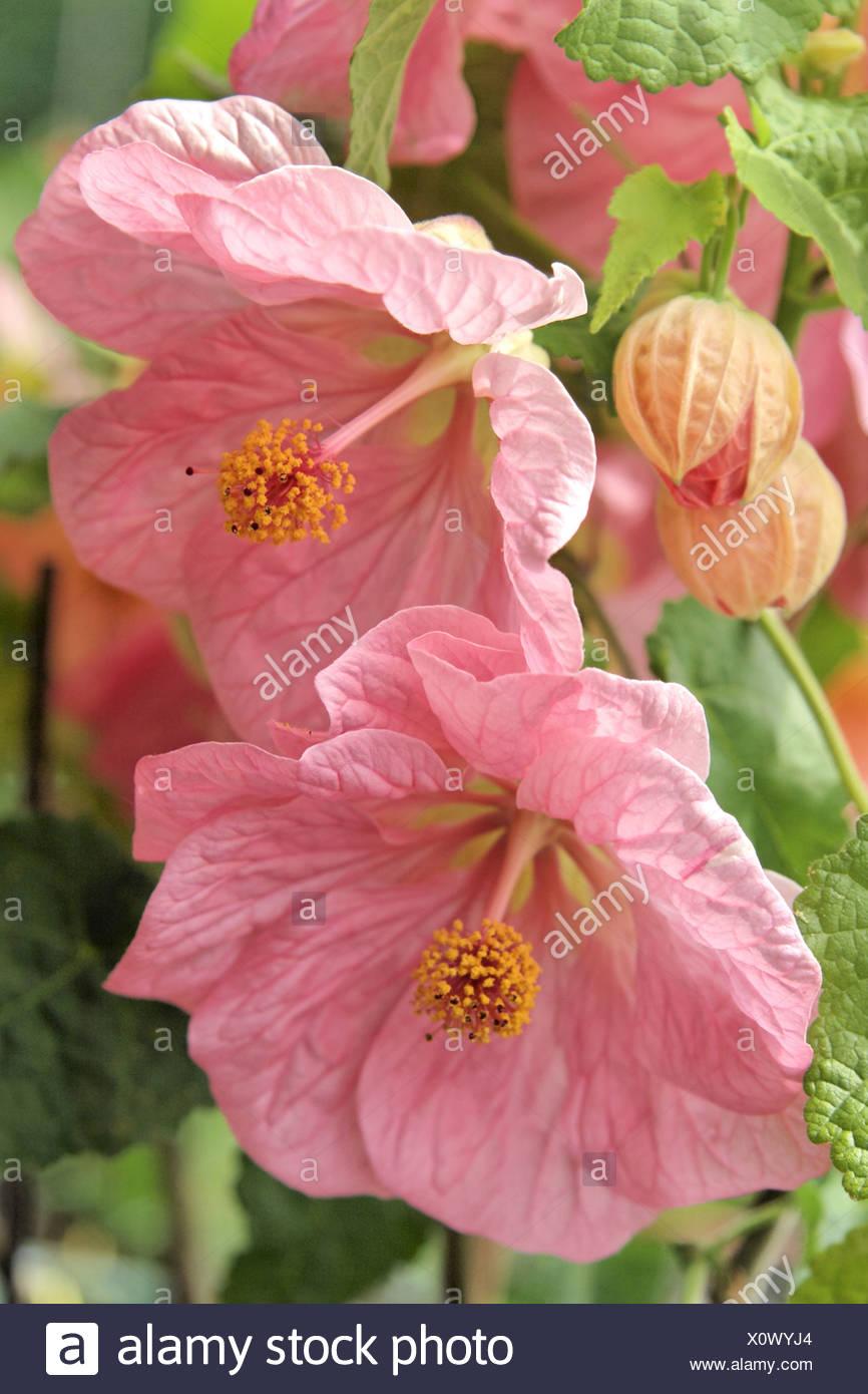 Flowering Maple Indian Mallow Parlor Maple Abutilon Hybride