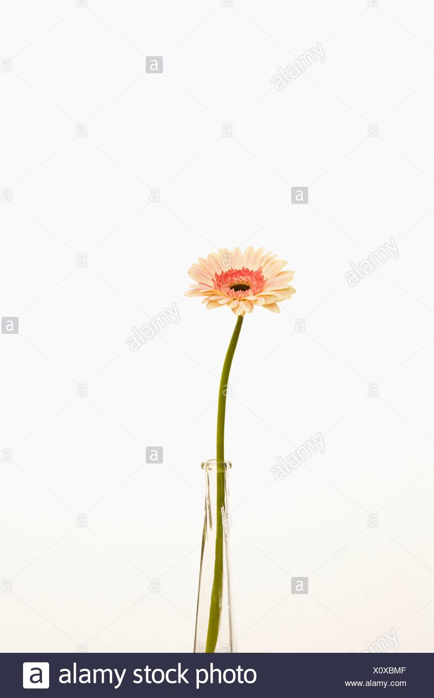 Single flower stem glass vase stock photos single flower stem gerbera daisy flower in vase stock image reviewsmspy