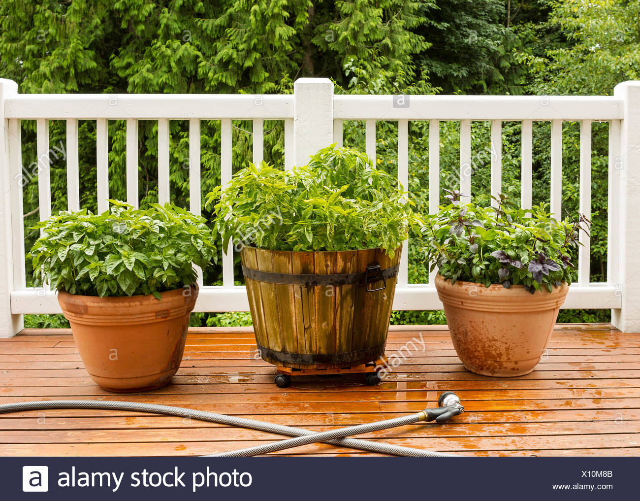 Etonnant Horizontal Photo Of A Home Herb Garden, With Watering Hose In Front Of Pots  On Cedar Deck With White Railings And Trees In Background