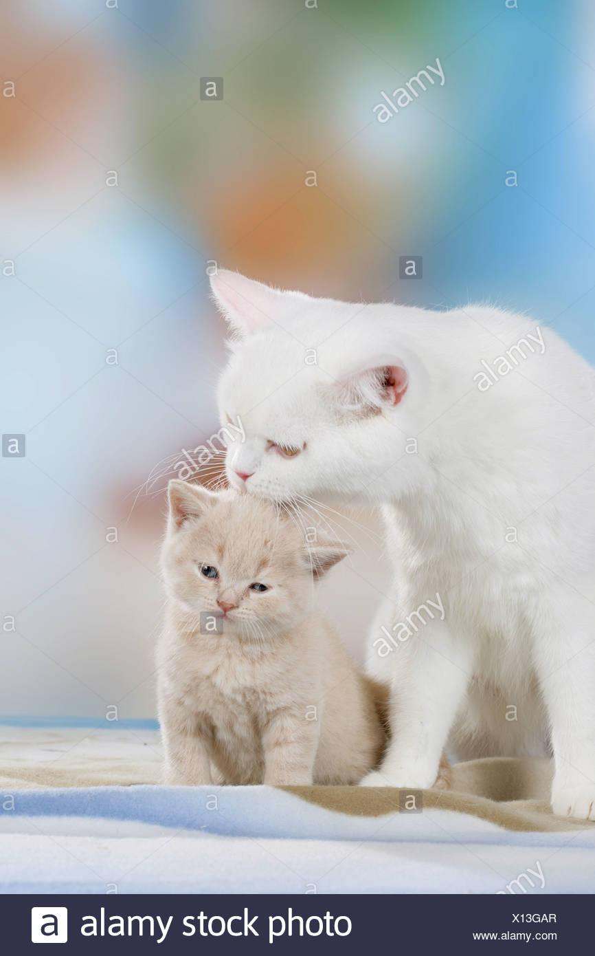 British Shorthair Cat With Kitten Stock Photo 276059247 Alamy