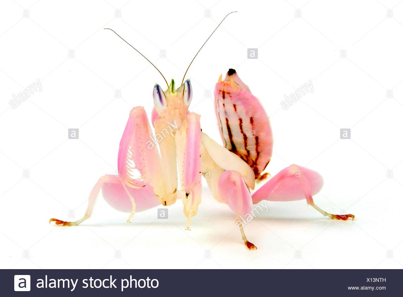 Walking Flower Mantis Orchid Mantis Pink Orchid Mantis Hymenopus