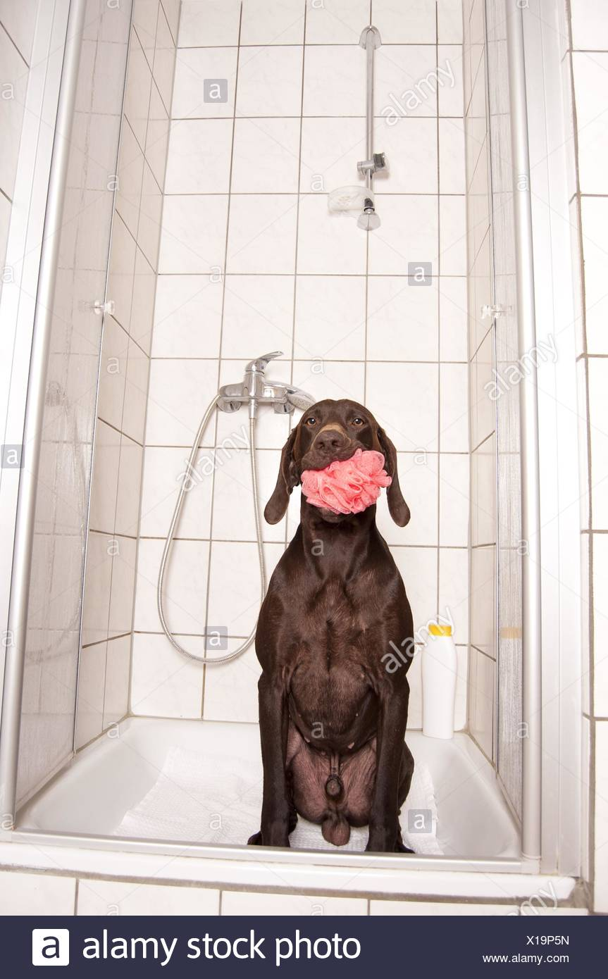 German shorthaired Pointer in shower Stock Photo: 276195521 - Alamy