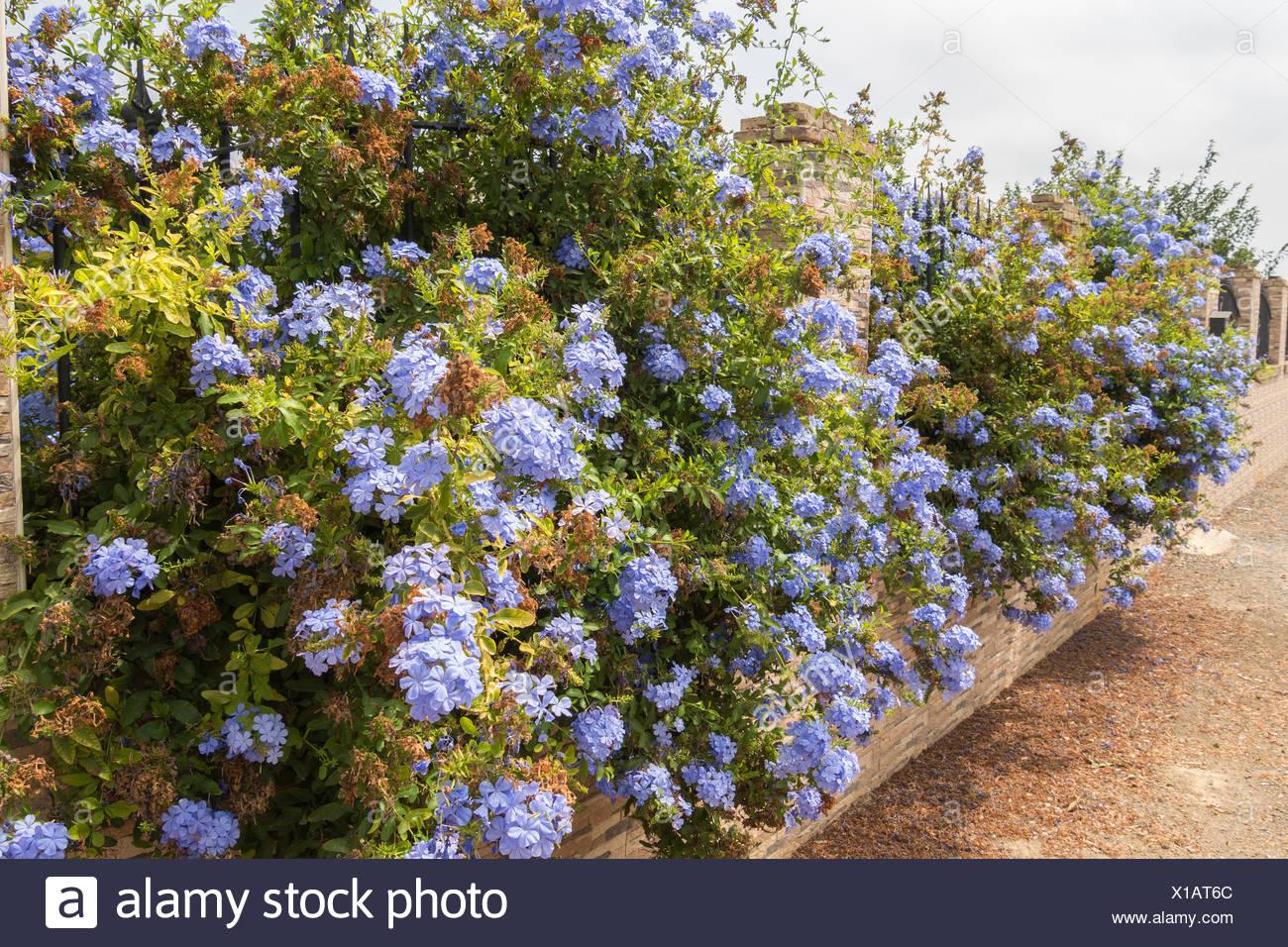 Blue flowers plumbago auriculata cape leadwort blue jasmine stock blue flowers plumbago auriculata cape leadwort blue jasmine izmirmasajfo