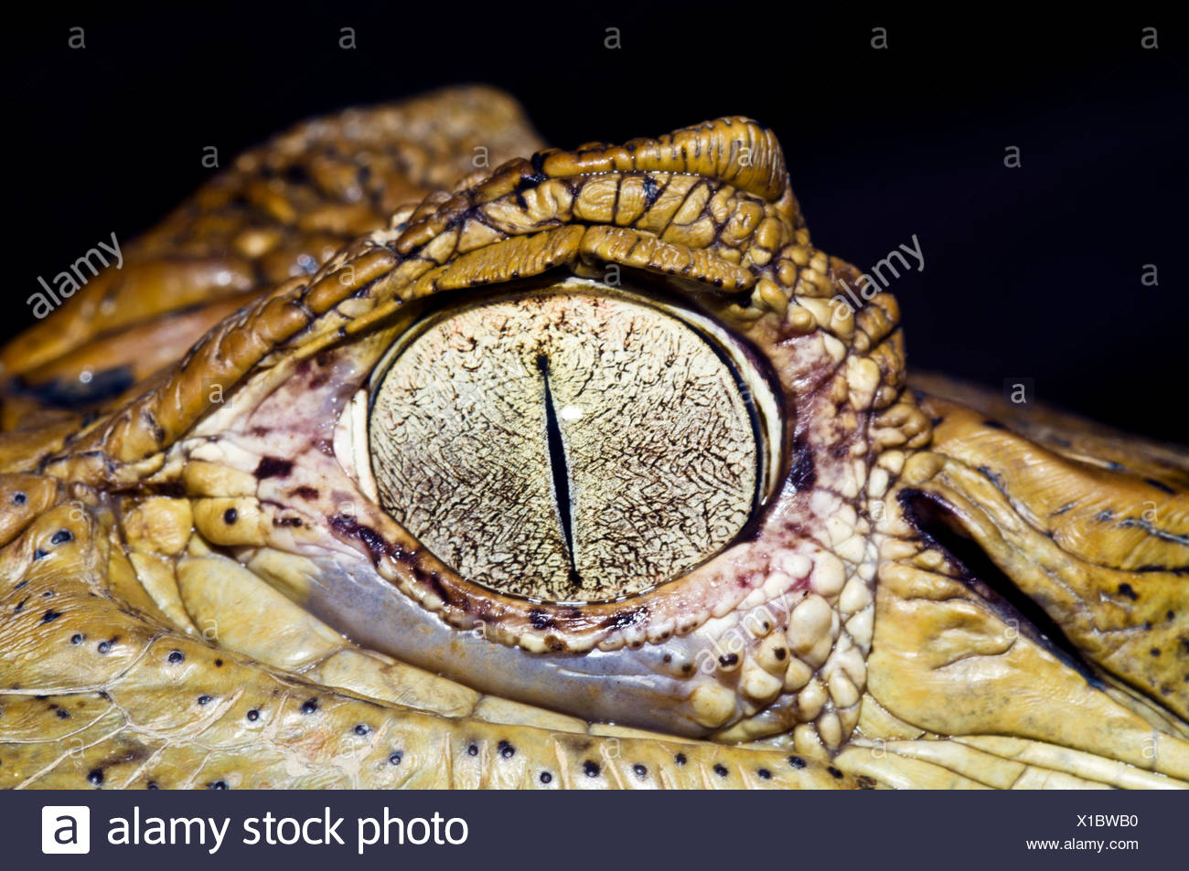 the textured and leathery scales on the skin surround the eye of a