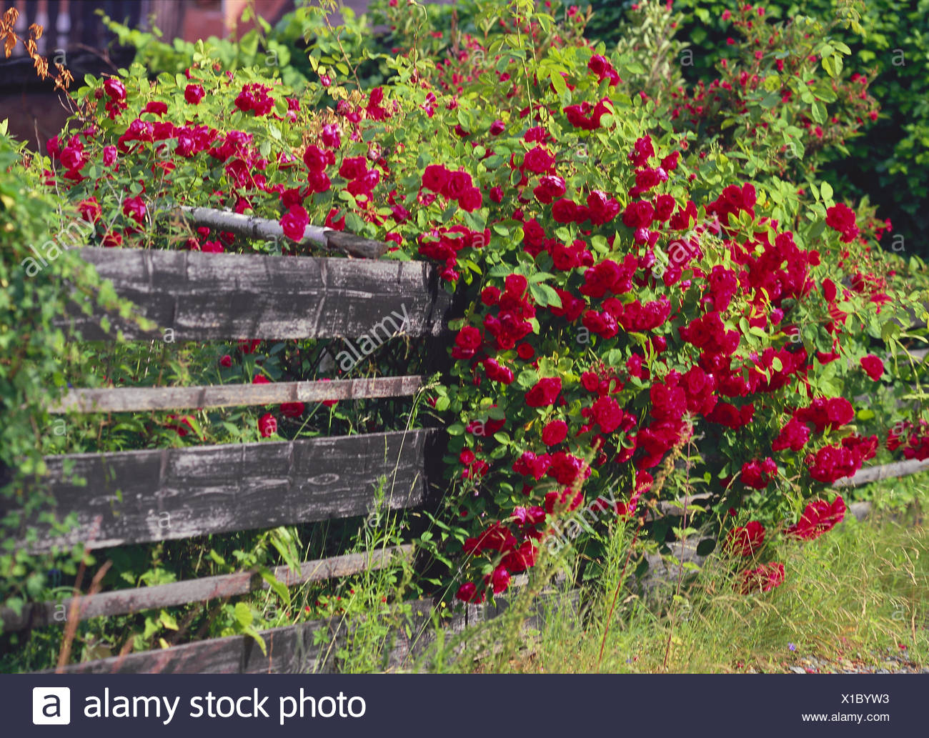 Fence, Climbing Roses, Red, Blossom, Garden, Garden Fence, Fence, Boards,  Wooden Fence, Wooden Boards, Plant, Flowers, Roses, Summers, Blossoms, ...