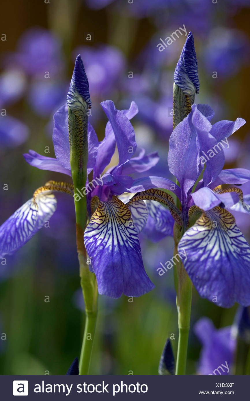 Close Up Of Blue Iris Flowers In Bloom Against Blurred Background