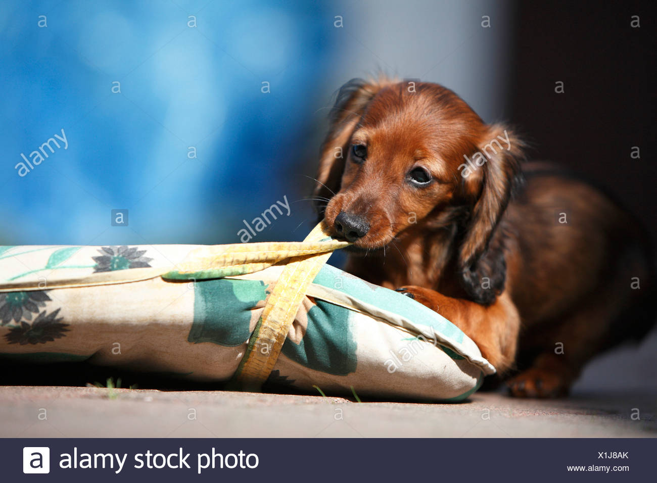 Wire-haired Dachshund, Wire-haired sausage dog, domestic dog (Canis ...