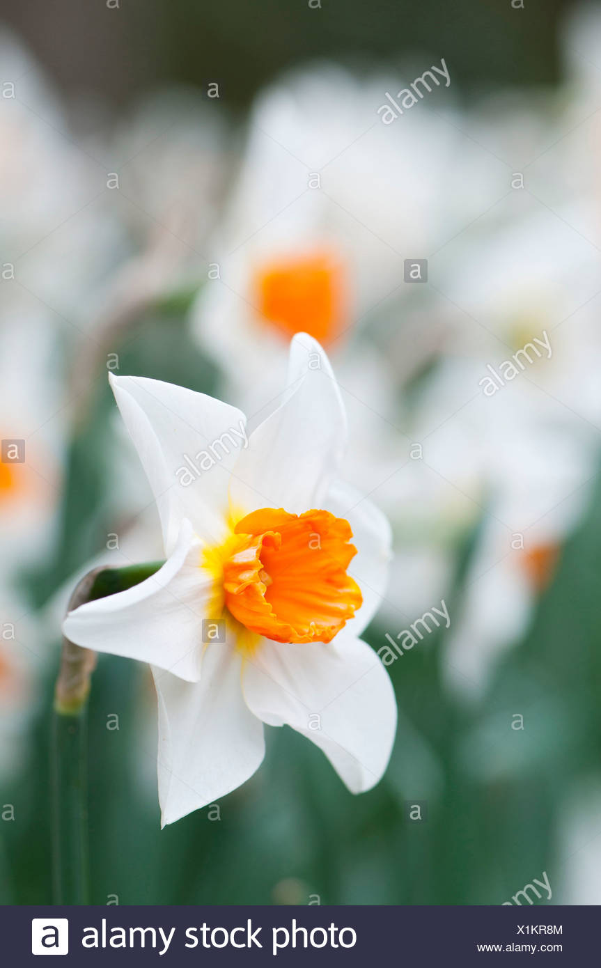 Narcissus with white petals and orange centre single daffodil narcissus with white petals and orange centre single daffodil flower with others massed behind shallow depth of field mightylinksfo