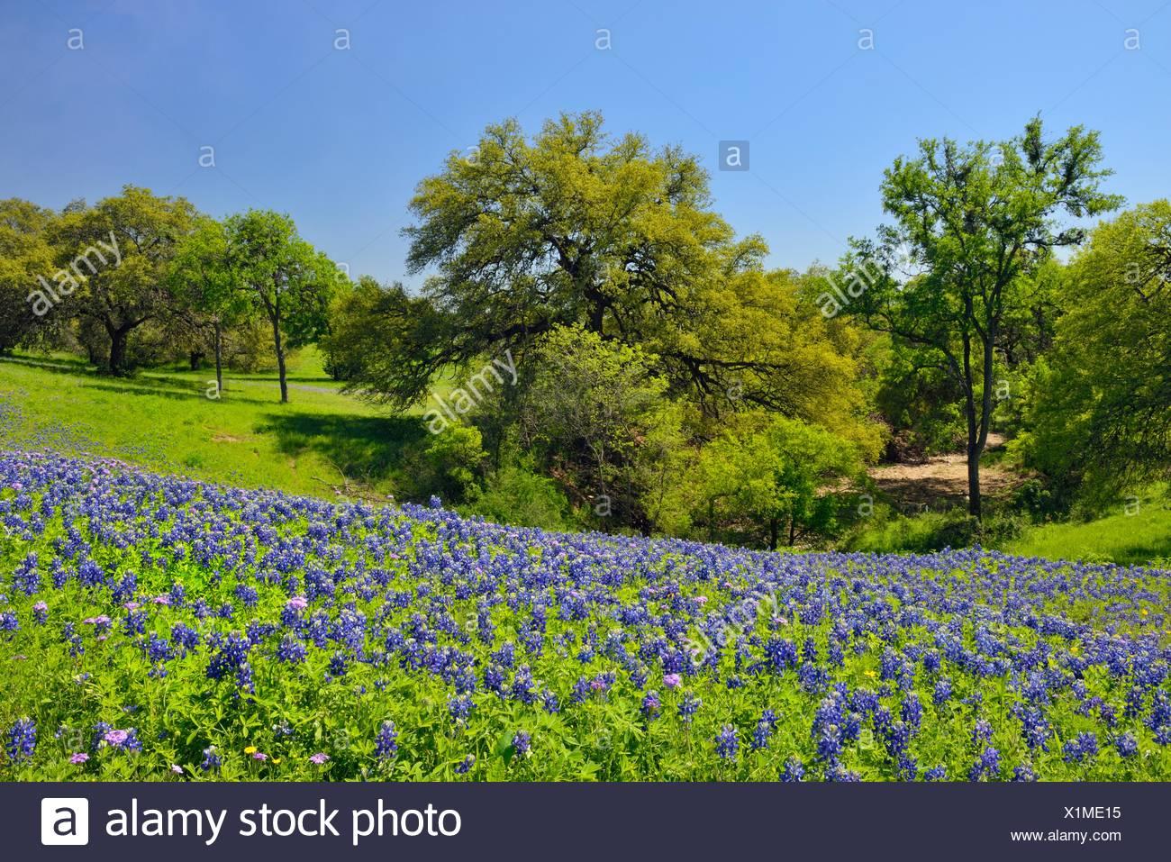 Bluebonnet New Braunfels >> Roadside Texas Bluebonnets New Braunfels Texas Usa Stock Photo