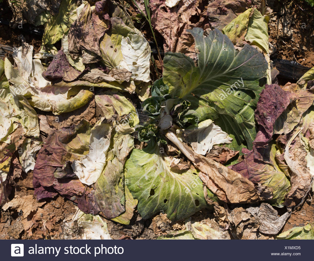 Leftover cabbages are allowed to compost and fertilize the garden ...