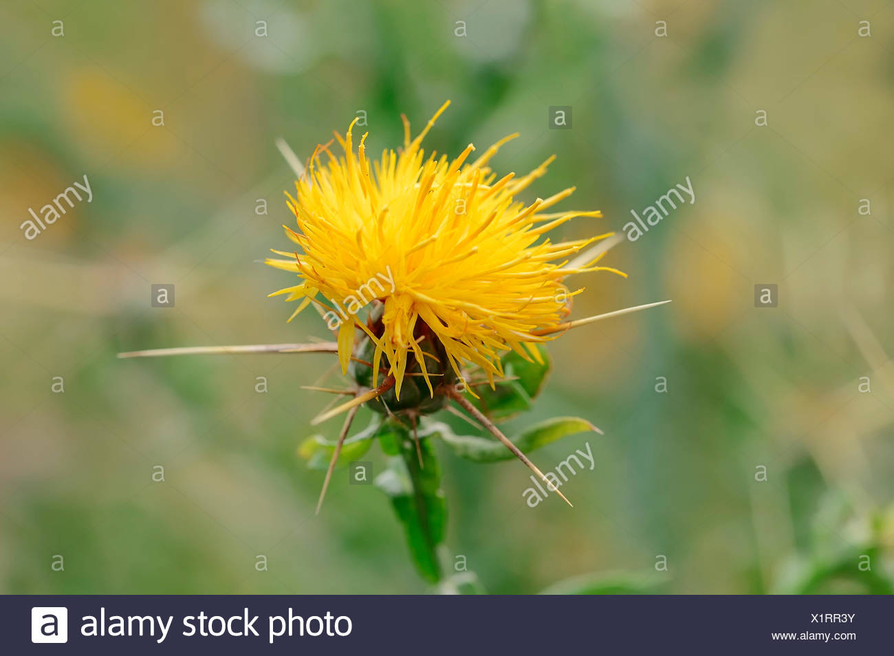 Yellow Star Thistle Centaurea Solstitialis Flower North Rhine