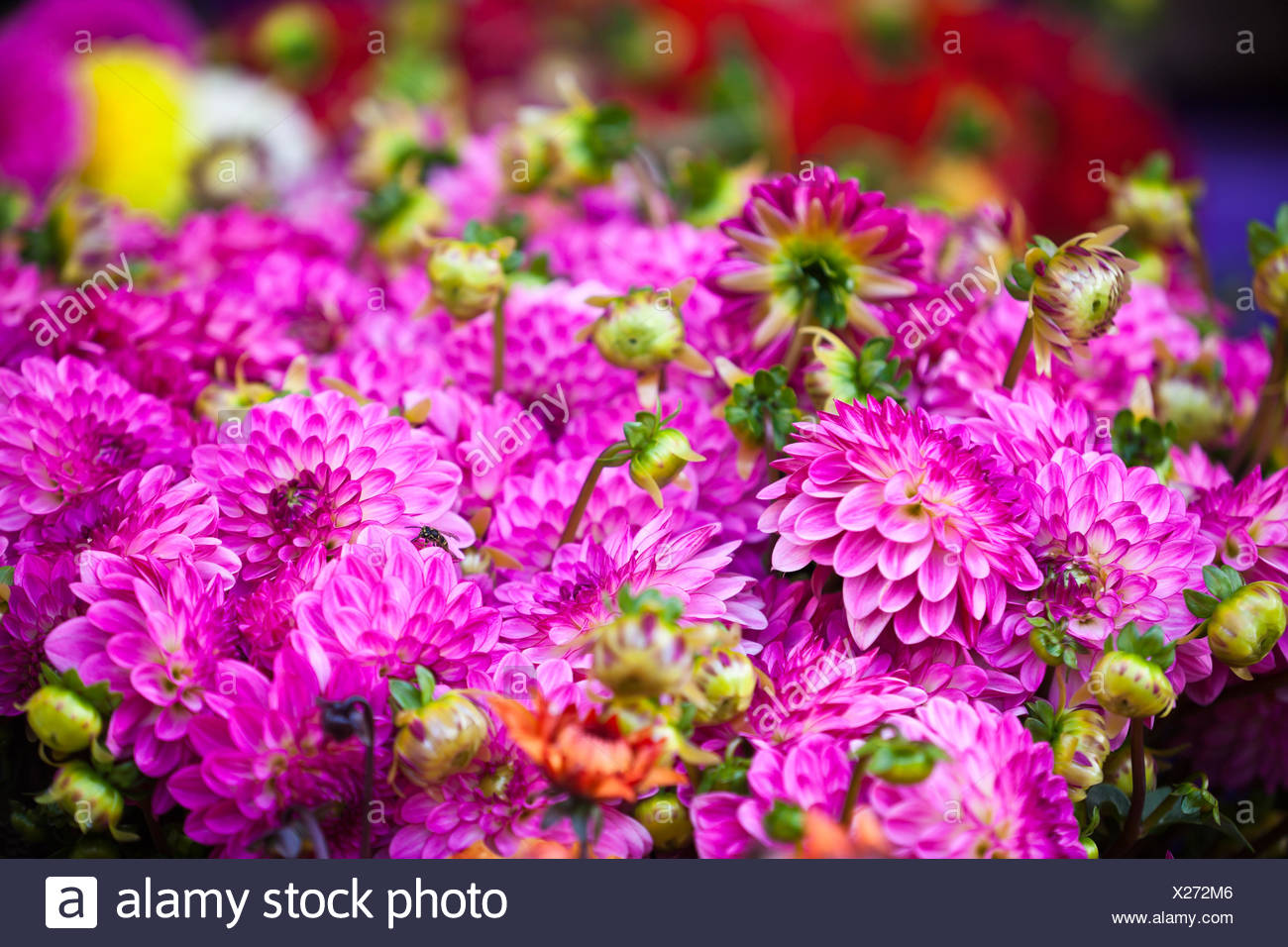 Beautiful pink dahlias flowers horizontal shot with selective focus beautiful pink dahlias flowers horizontal shot with selective focus izmirmasajfo