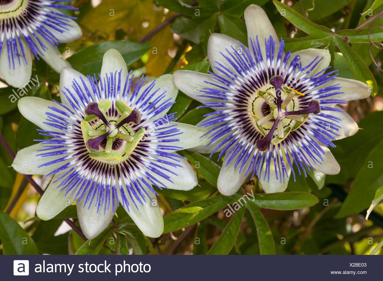 Blue Passion Flowers Passiflora Caerulea Stock Photo 276781795 Alamy
