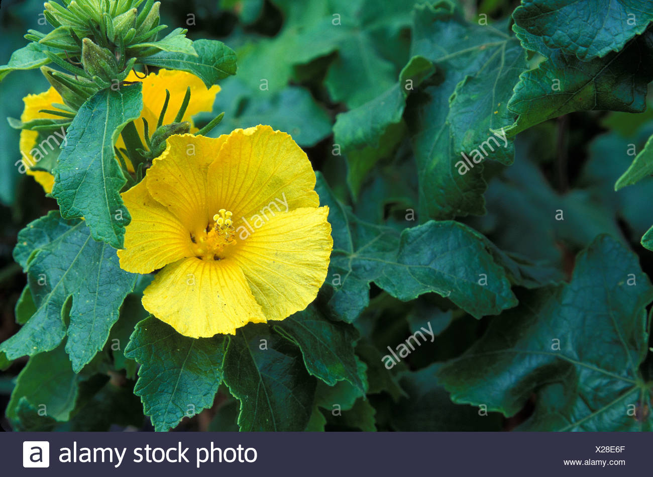 The hawaii state flower the yellow hibiscus brackenridgii the hawaii state flower the yellow hibiscus brackenridgii surrounded by green leaves izmirmasajfo