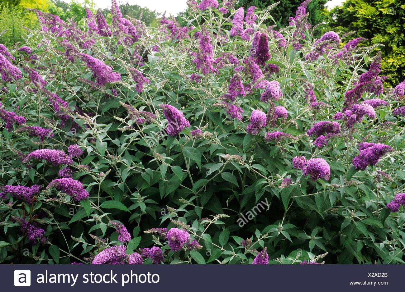 buddleja lochinch purple flower flowers buddlejas buddleia buddleias butterfly bush garden plant plants - Bush Garden