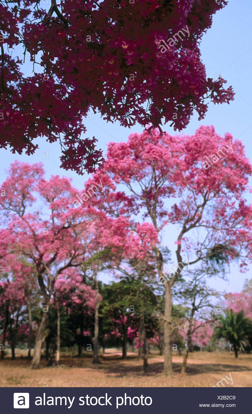 Pink Trumpet Trees In Flower Dry Pasture With Trees Type Of