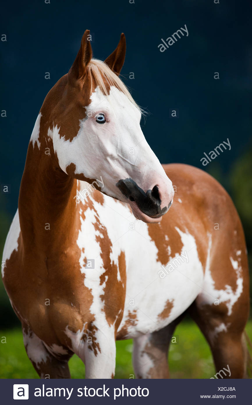 sorrel overo paint horse with a blue eye stock photo 276872970 alamy
