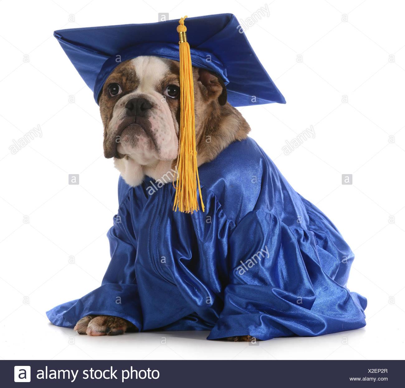 puppy school - english bulldog wearing graduation hat and gown ...
