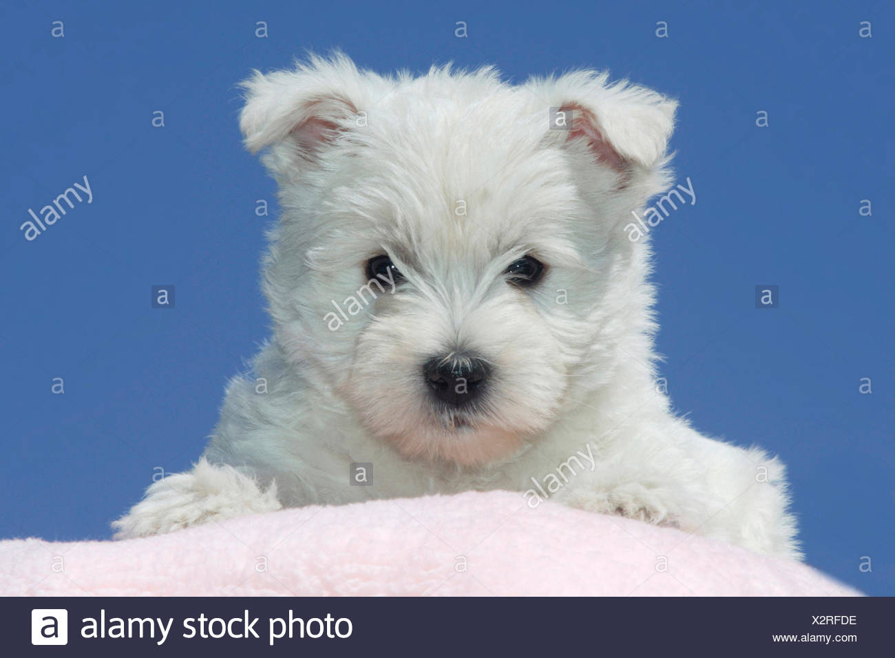 West Highland Terrier Westie Portrait of puppy seen against blue ...
