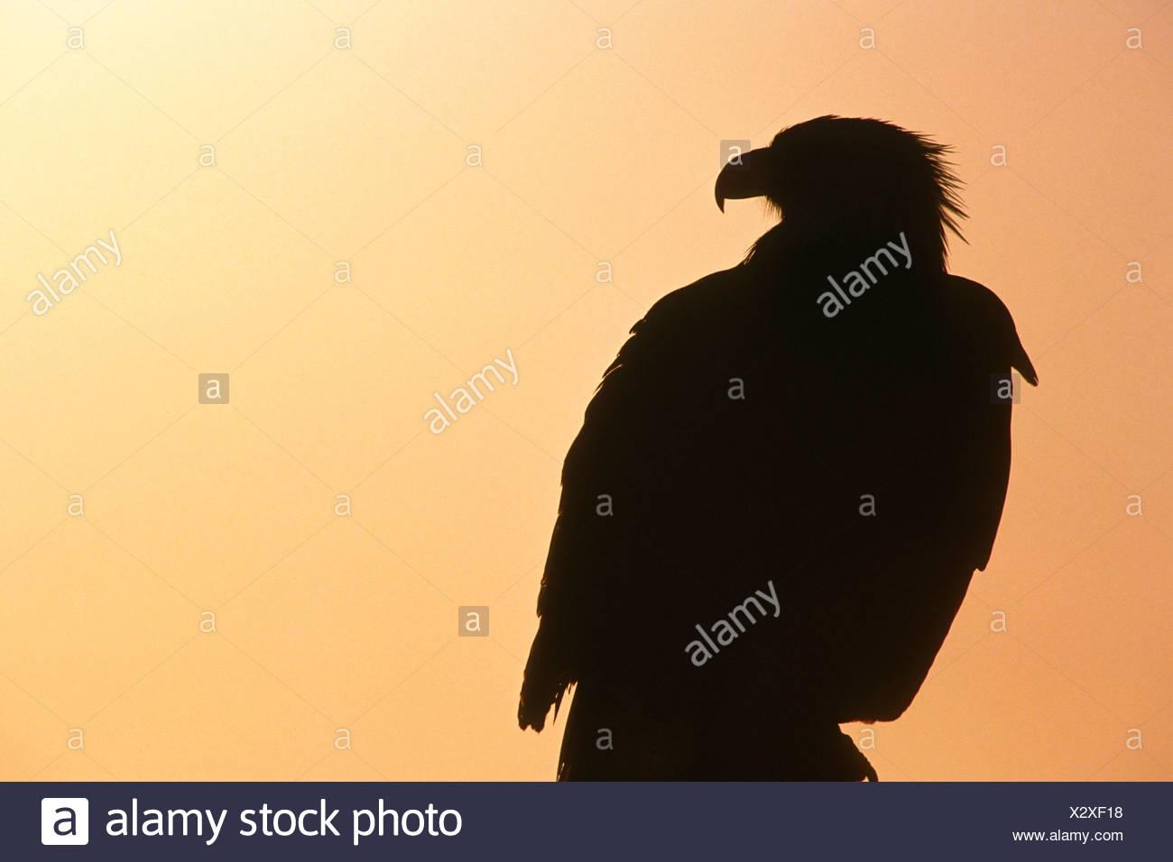 bald eagle silhouette at sunset kenai peninsula ak stock photo