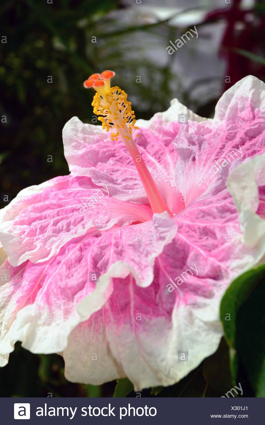 Close Up Of A Large Hibiscus Flower Edna Bogart Variety Stock Photo